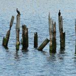 Photo of birds on top of old bridge pilings