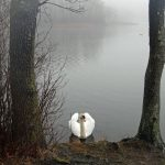 Photo of swan on a misty lake