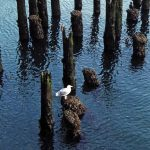 Photo of gull on top of old bridge pilings