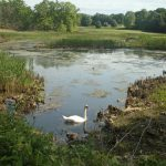 Photo of swan in inlet